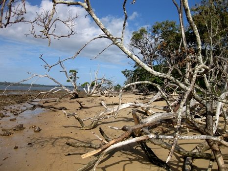 Trees that had blown over on the beach