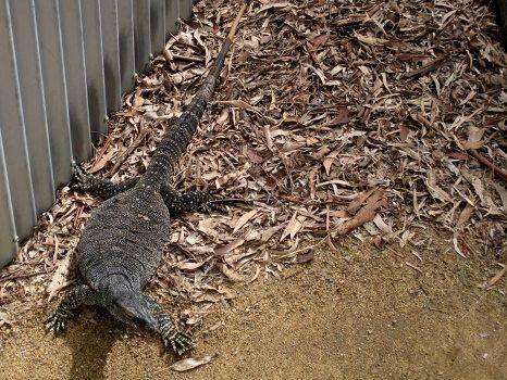 Big lizard at Lone Pine Koala Sanctuary