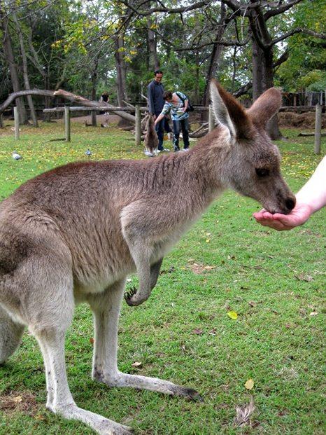 Kangaroo eating from Gavin's hand