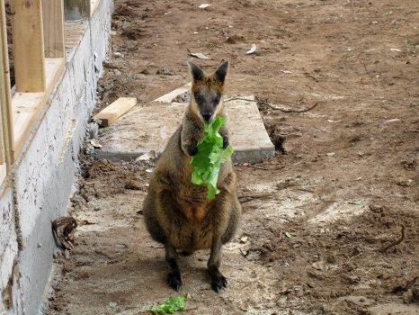 Little kangaroo munching on lettuce
