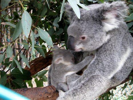 Koala with little baby!